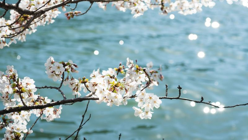 flower, tree, blue, white, 4K (horizontal)