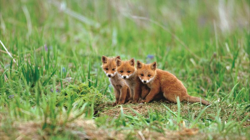 fox, cute animals, red, 5K (horizontal)