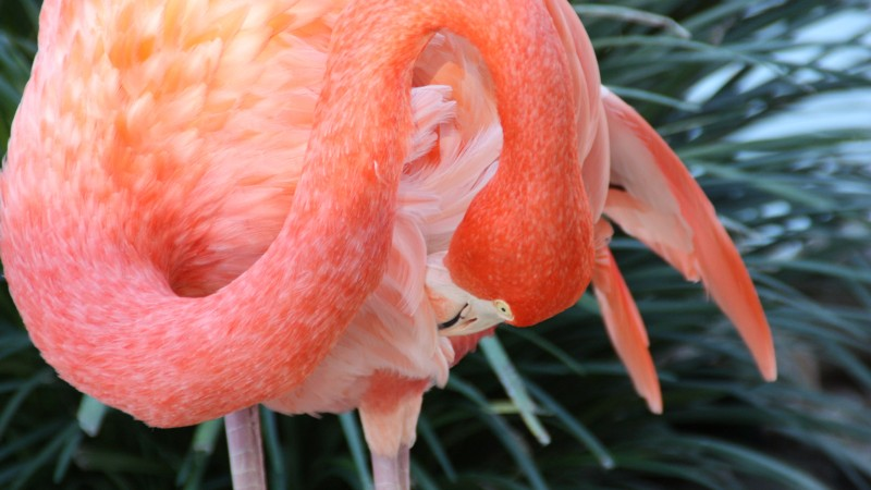Flamingo, HD, 4k wallpaper, Sun Diego, zoo, bird, red, plumage, tourism, pond (horizontal)