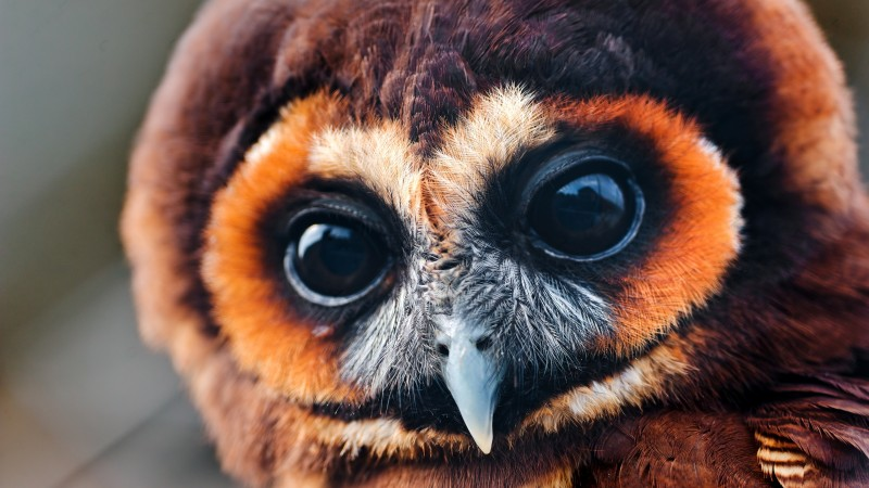 Owl, 5k, 4k wallpaper, National Geographic, Eyes, Wild, funny (horizontal)