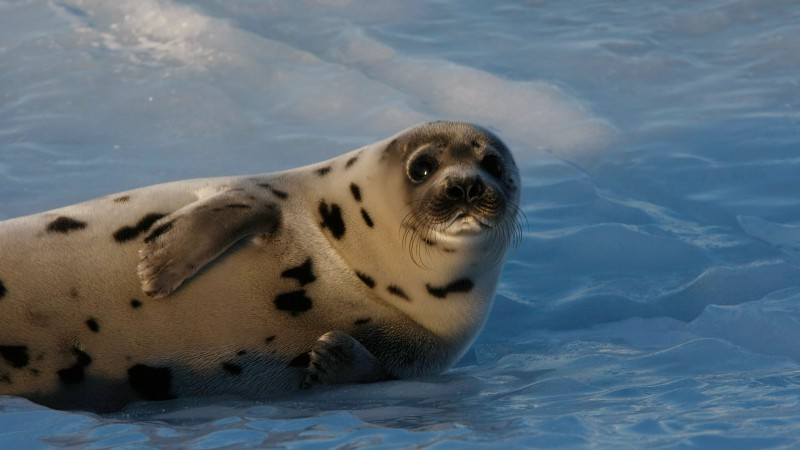 Seal pup, Atlantic Ocean, snow, funny (horizontal)