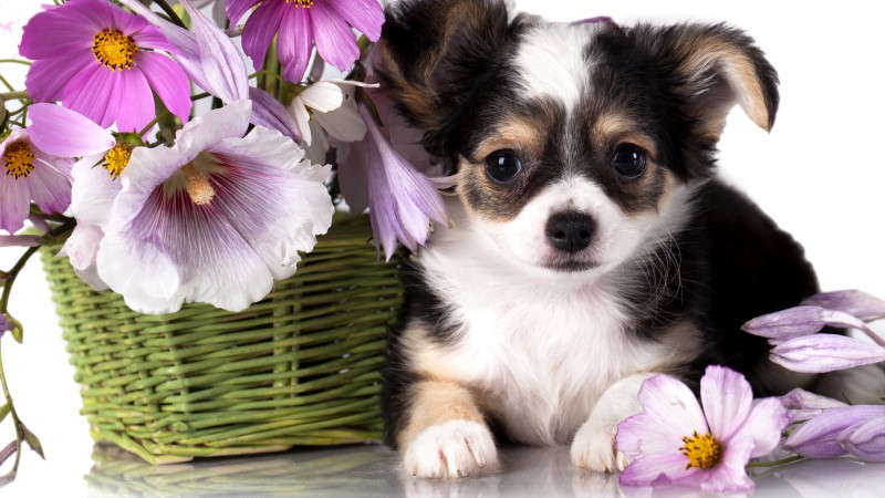 Chihuahua, puppy, dog, flower, animal (horizontal)