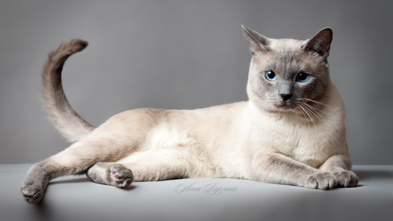 Thai cat, blue eyes, animal (horizontal)