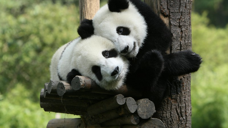 Panda, Giant Panda Zoo, China, Cute animals (horizontal)