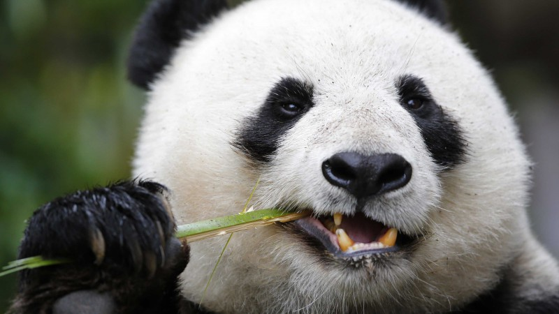 Panda, Giant Panda Zoo, Cute animals (horizontal)