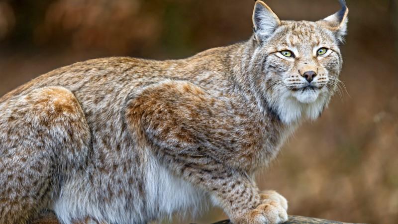 Wallpaper Lynx World S Dangerous Animals Predator
