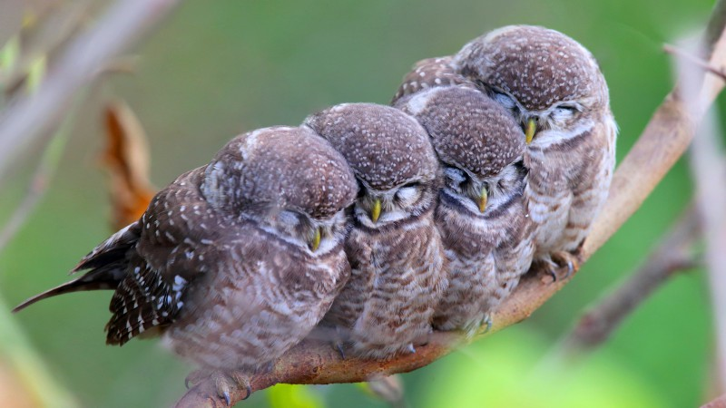 Spotted owl, owls, birds, mom, babes, Cute animals (horizontal)