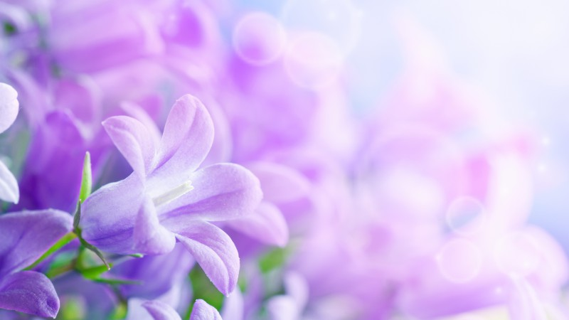 Morning glory, 5k, 4k wallpaper, 8k, purple, flowers, rays (horizontal)