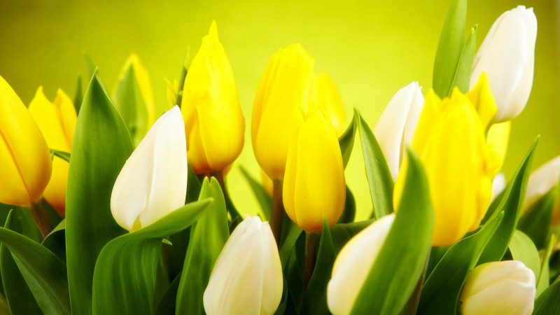 Tulip, 4k, HD wallpaper, spring, flower, yellow (horizontal)
