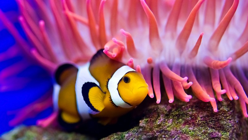 Clownfish, diving, Red sea, coral, World's best diving sites, deep sea creatures (horizontal)