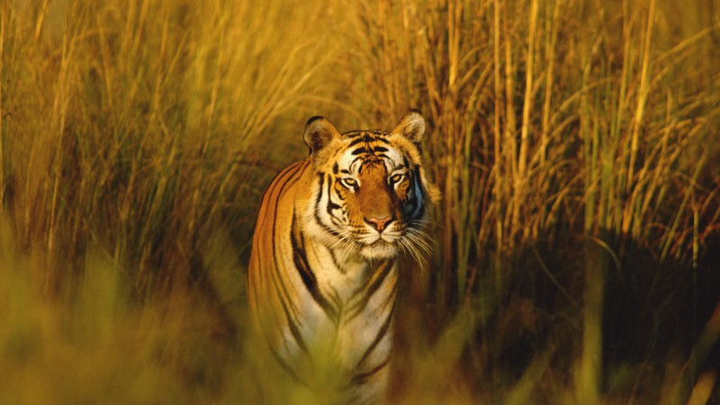 Bengal Tiger, National Geographic, tiger, hunter, predator (horizontal)