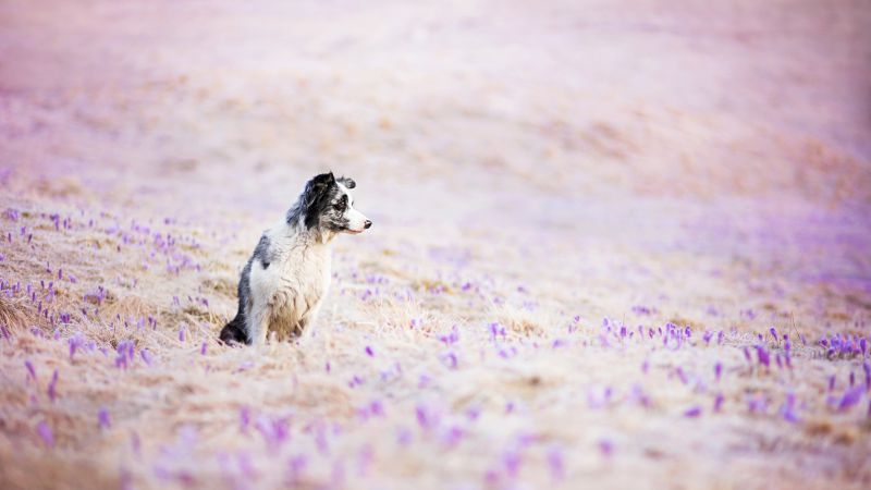 Border Collie, dog, field, cute animals, funny (horizontal)