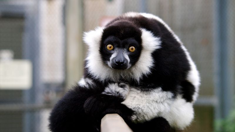 lemur, cute animals, funny (horizontal)