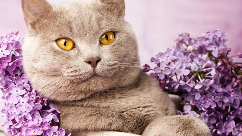 British cat, cute animals, lilac (horizontal)