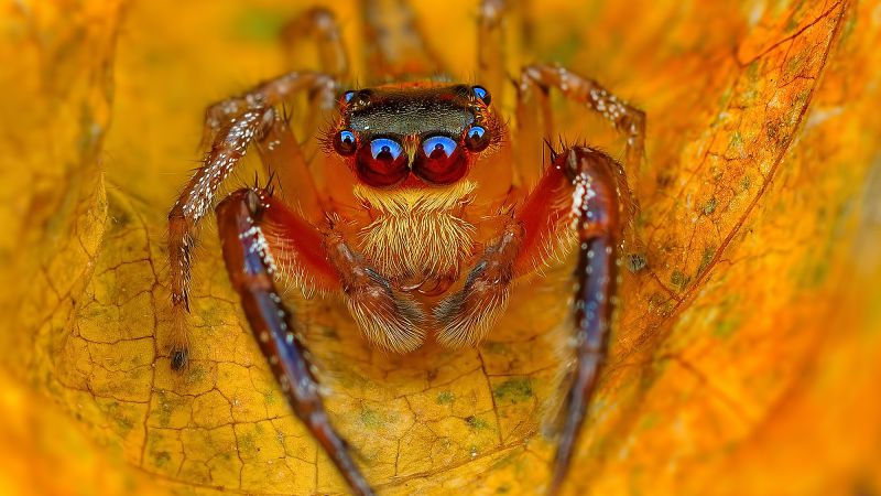 Jumping Spiders, macro, yellow (horizontal)