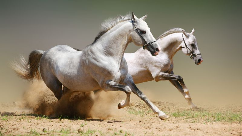 Horse, cute animals, gallop (horizontal)
