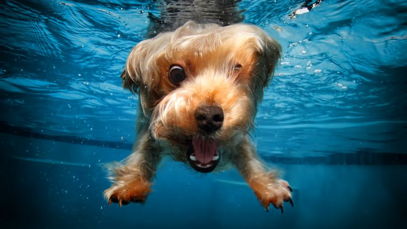 terrier, dog, underwater, cute animals, funny (horizontal)
