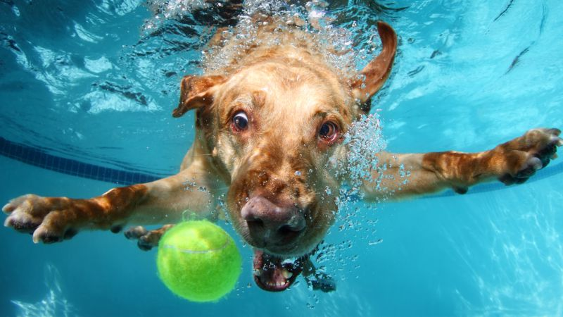 Labrador, dog, underwater, cute animals, funny (horizontal)