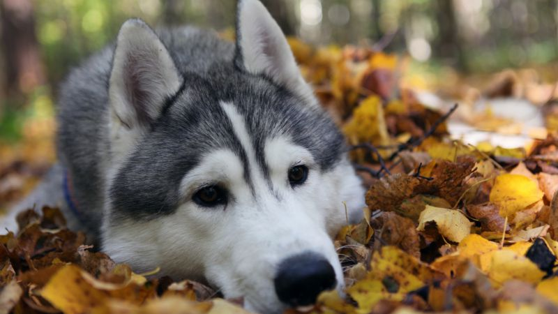 Husky, dog, cute animals, funny (horizontal)