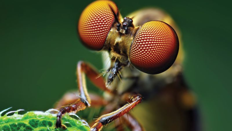 Fly, eye, macro (horizontal)