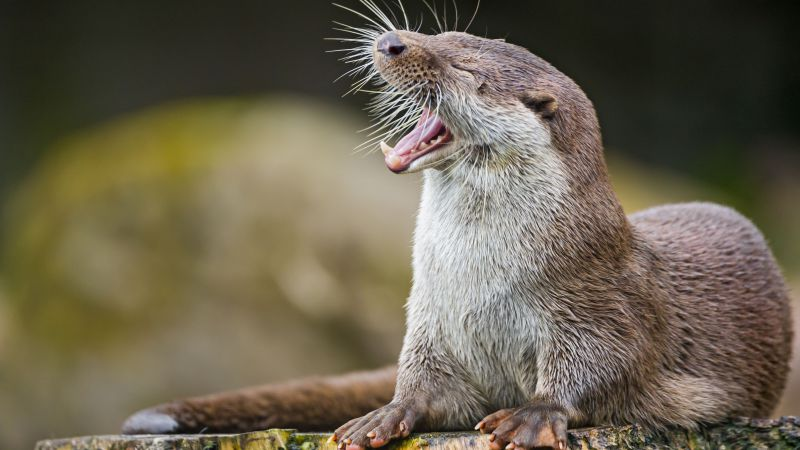 otter, cute animals, funny (horizontal)
