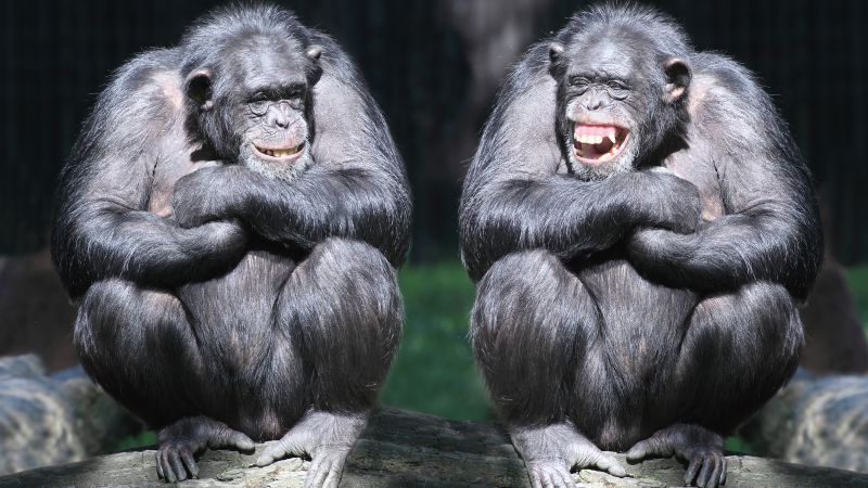 chimpanzee, couple, cute animals, monkey, funny (horizontal)