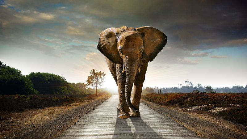 Elephant, sunset, road, nature (horizontal)