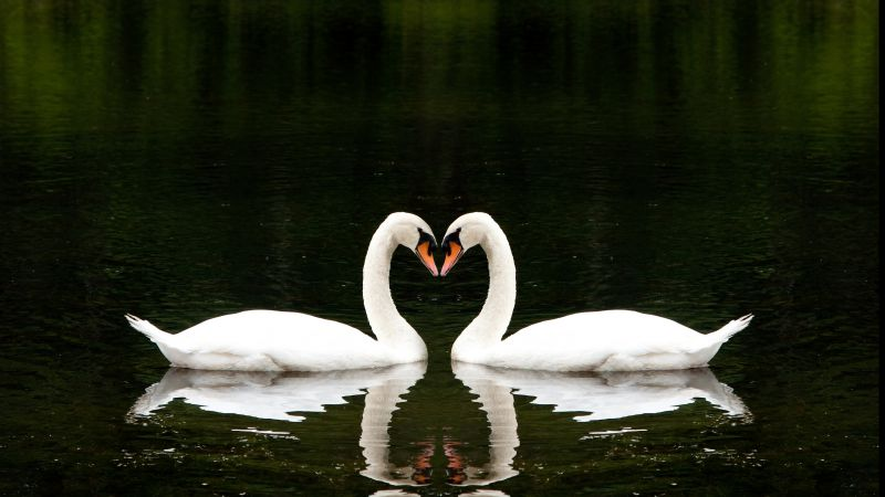 Swan, couple, lake, cute animals, love (horizontal)