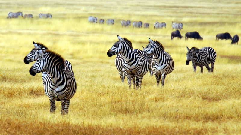 Zebra, savanna, cute animals (horizontal)