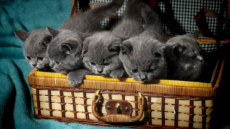 British cat, kitten, cute animals, funny, basket (horizontal)