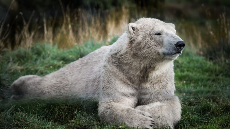 Polar bear, look, cute animals (horizontal)