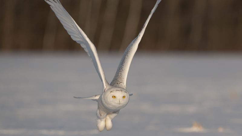 Owl, cute animals, funny, flight (horizontal)