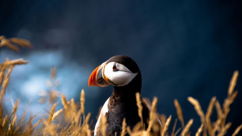 Puffin, cute animals, meadow (horizontal)