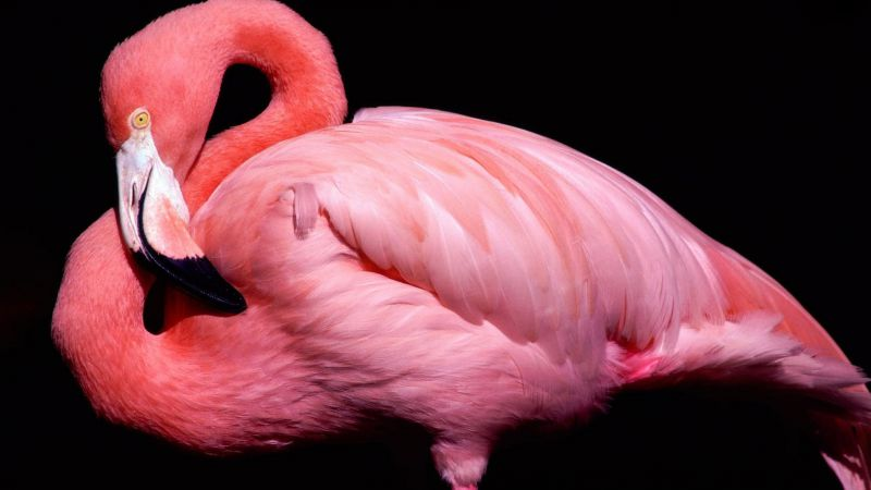 Flamingo, cute animals, pink (horizontal)