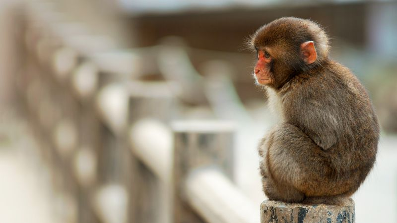 Macaque, monkey, cute animals, funny (horizontal)