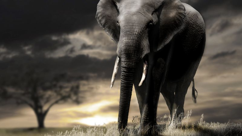 Elephant, sunset, savanna, clouds (horizontal)