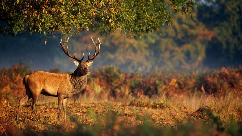 Deer, steppe, nature (horizontal)