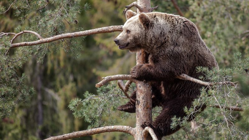 Brown bear, bear, cute animals, tree (horizontal)