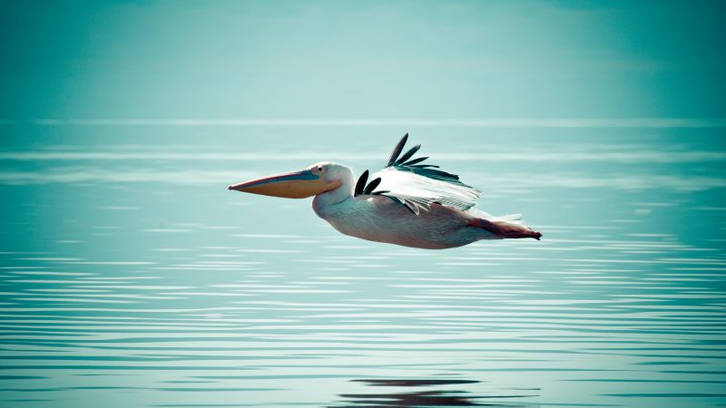 Pelican, flight, ocean, sea (horizontal)