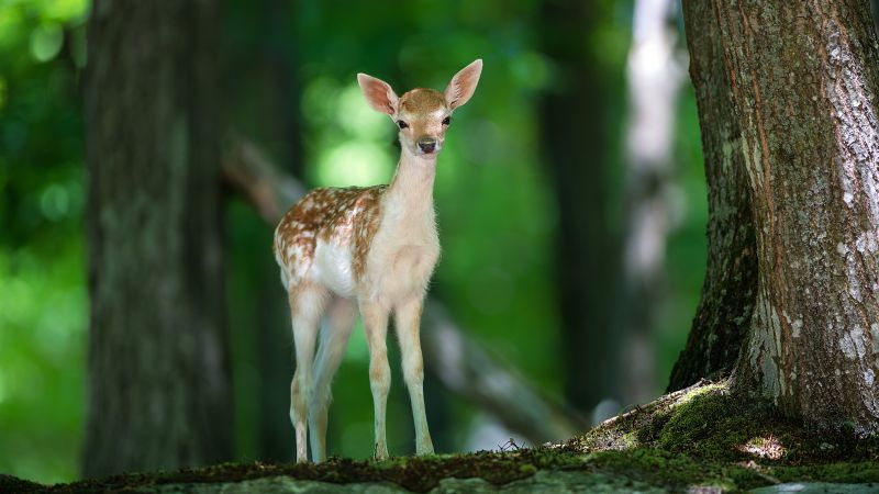 Deer, cute animals, forest (horizontal)