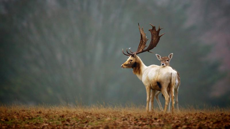 Deer, meadow, fog, cute animals (horizontal)