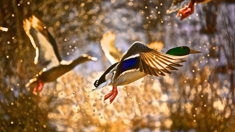Duck, flight, drops, sun (horizontal)