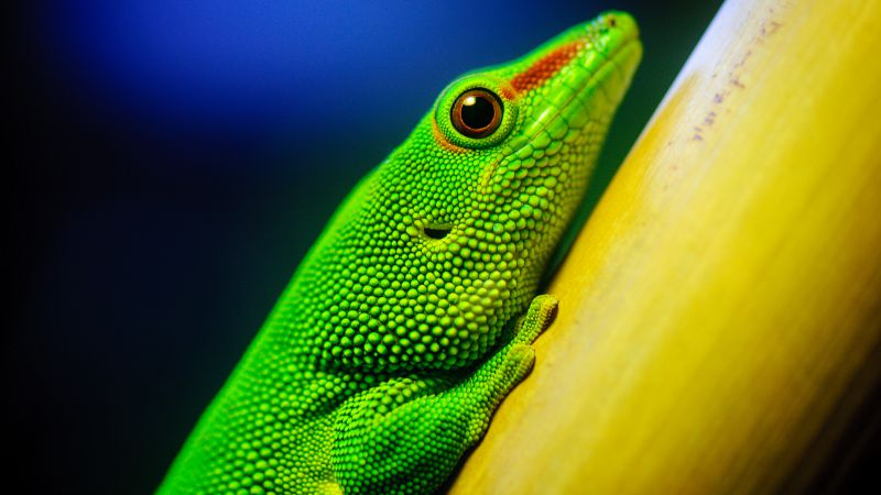 Lizard, macro, green (horizontal)