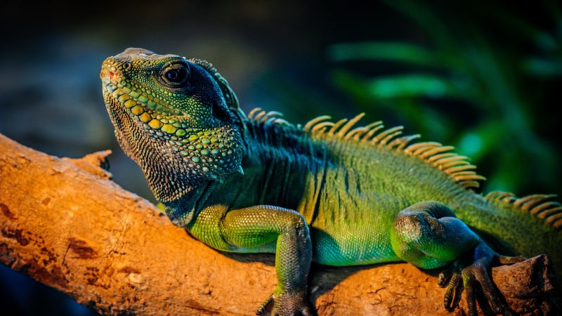iguana, lizard, cute animals (horizontal)