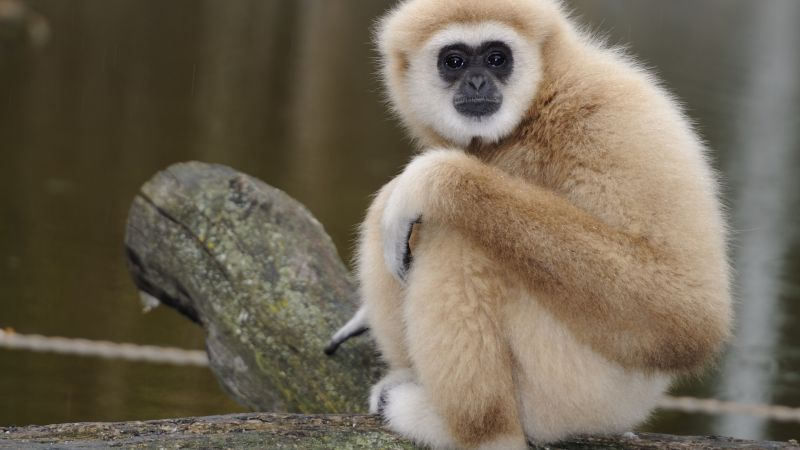 Nomascus, cute animals, monkey, funny (horizontal)