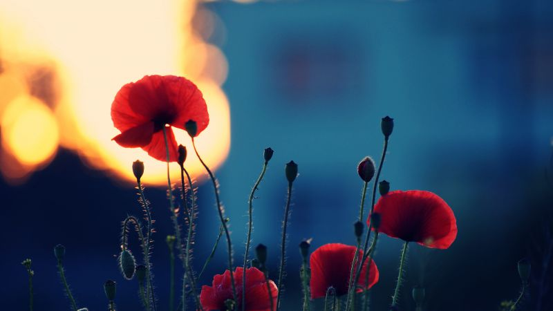 Poppy, 5k, 4k wallpaper, flowers, fiels (horizontal)