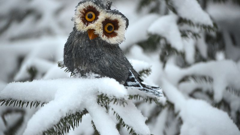 Owl, pines, snow, cute animals, funny (horizontal)