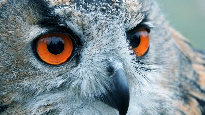 Owl, look, eyes, macro (horizontal)