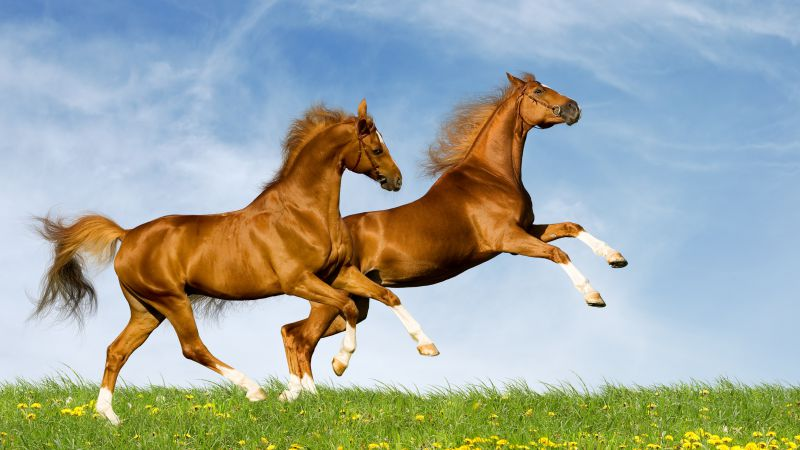 Horse, gallop, couple, sky (horizontal)
