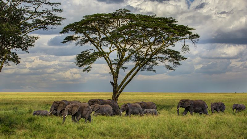 Elephant, 5k, 4k wallpaper, savanna, tree, clouds (horizontal)